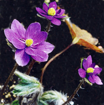 Hepatica x media Milstream Merlin