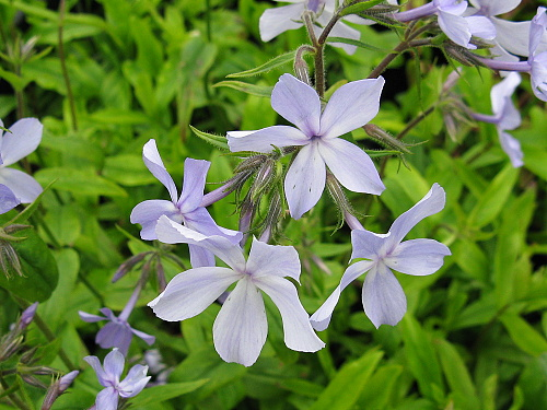 Phlox ´Blue Dreams´