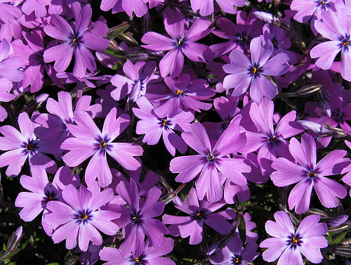 Phlox ´Purple Beauty´