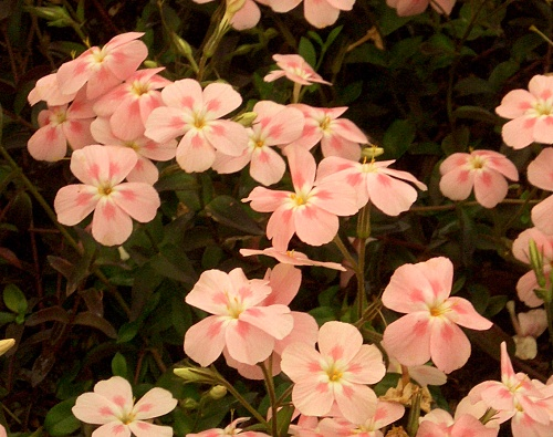 Phlox ´Red Buttes´