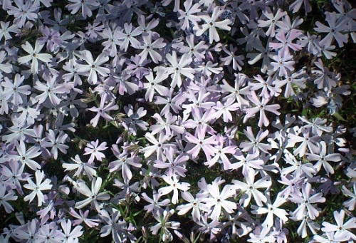 Phlox ´Apollo´