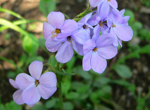 Phlox ´Blue Ridge´