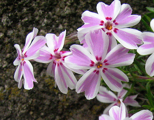 Phlox ´Candy Stripe´