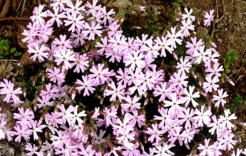 Phlox ´Joanis Blood´