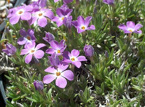 Phlox ´Lehmi Purple´