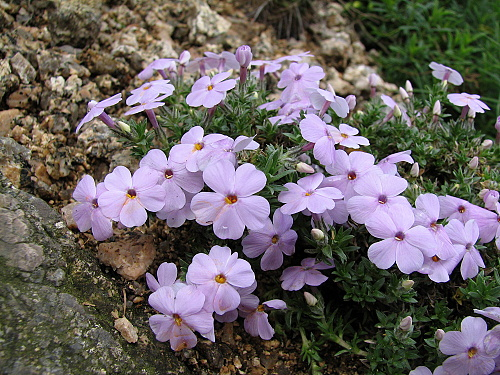 Phlox ´Lilac Cloud´