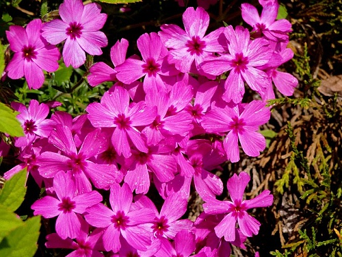 Phlox ´Redwings´