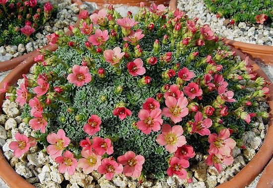 Saxifraga  ´Paul Gaugin´
