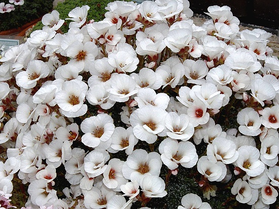Saxifraga   ´Joy Bishop