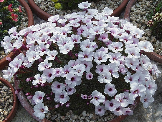 Saxifraga   ´Don Giovanni