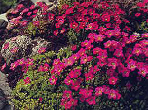 Saxifraga ´Purple Carpet´