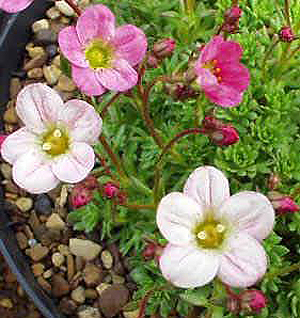 Saxifraga ´Winston Churchill´